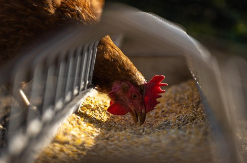 chicken feed for egg quality