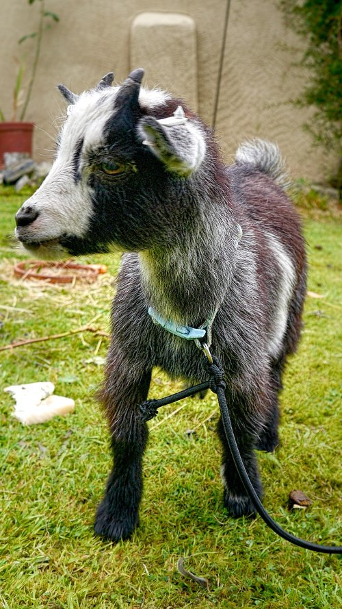 facts about pygmy goats