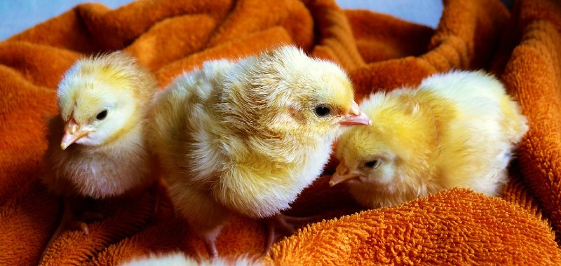 Best Chick Brooder Heaters, Heating Plates and Lamps