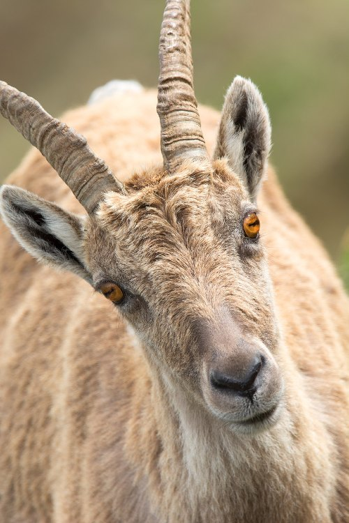 Do Goats Have Feelings and Emotions?