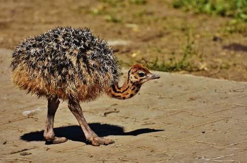 Ostrich For Sale