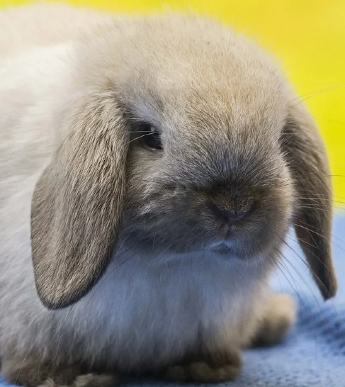 Holland Lop Bunnies For Sale and breeders