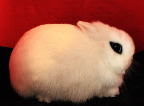 smallest bunnies in the world