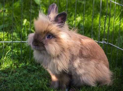 among the smallest rabbit breeds