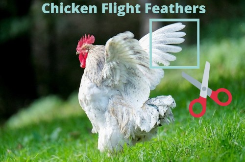 Clipping Chicken Wings (Flight Feathers)