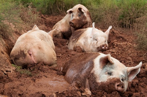Yorkshire pigs for sale